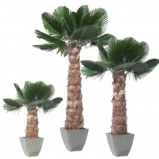 Palm Tree Washingtonia